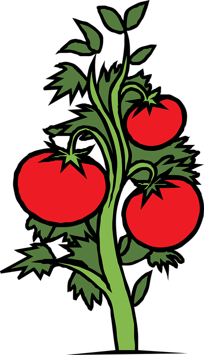 Free vector graphic Tomatoes Vines Tomato Vegetables Free