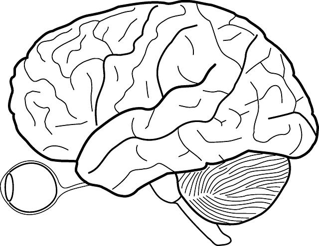 Cerebro Diagrama Anatomía La · Gráficos vectoriales gratis en Pixabay