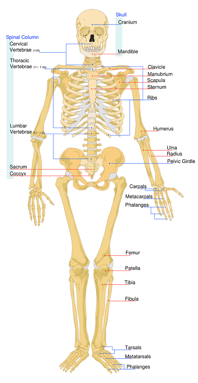 Skelett Beschriftet Arbeitsblatt   Kostenlose Vektorgrafik auf Pixabay