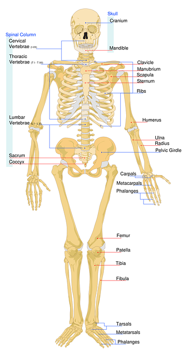 skeletal labeled worksheet skeleton system medical - Skeleton Worksheet