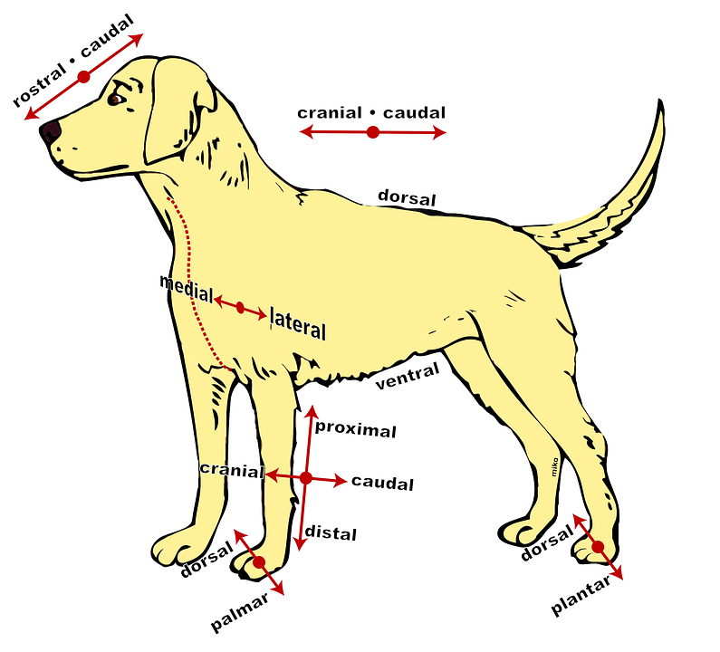 Dog Anatomical Diagram · Free vector graphic on Pixabay