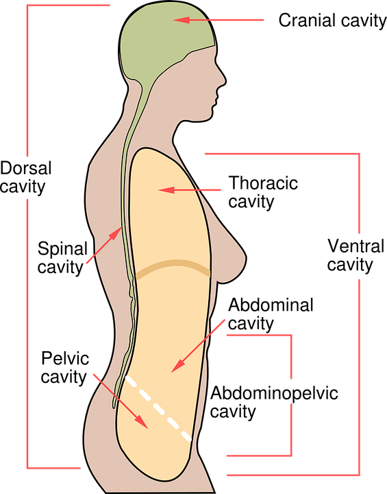 Human Body Diagram Free Vector Graphic On Pixabay