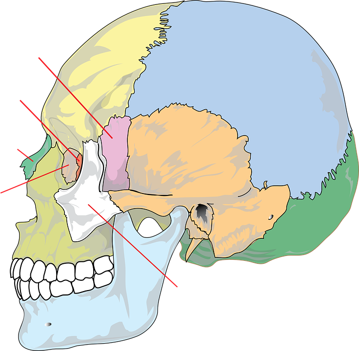 Diagram Skull Education · Free vector graphic on Pixabay