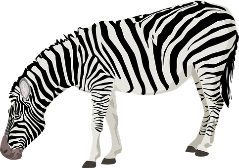 Zebra animal mammal black white