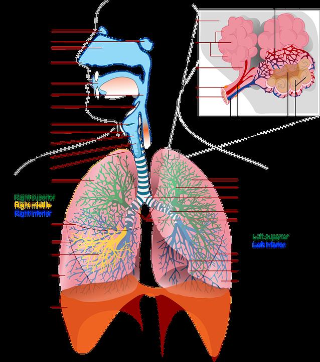Health Medicine Anatomy Free Vector Graphic On Pixabay