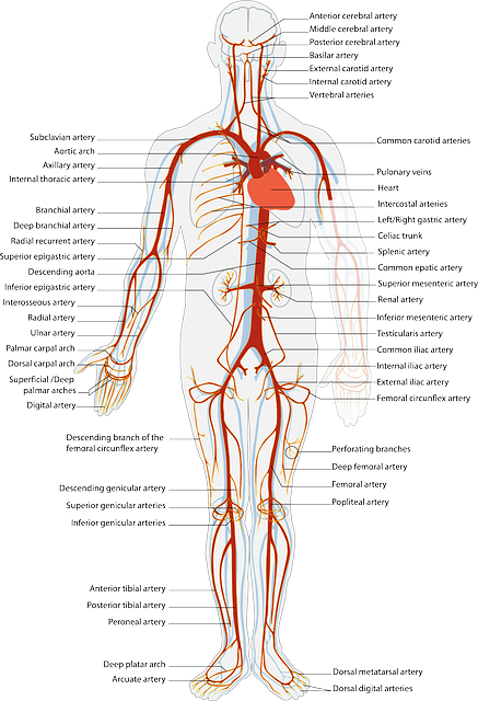 free vector graphic  health  science  circulation