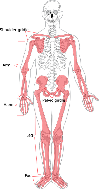 Esqueleto Humana Diagrama · Gráficos vectoriales gratis en Pixabay