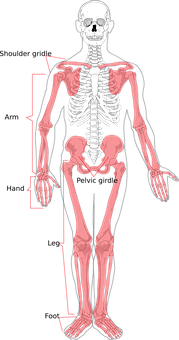 Skeleton Human Diagram Labelled Bone Body