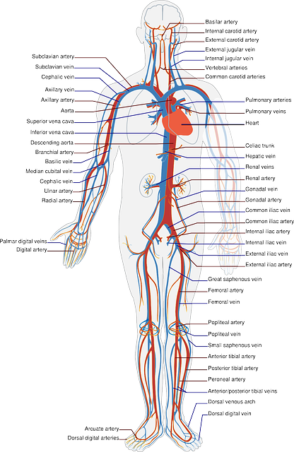Circulatory System Labels  U00b7 Free Vector Graphic On Pixabay