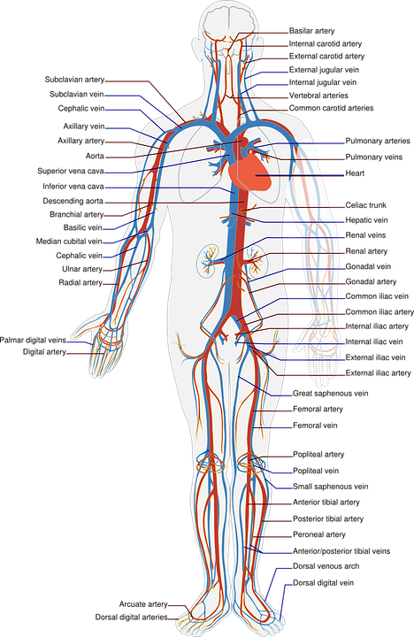 circulatory system no labels - photo #37