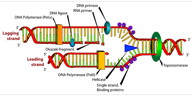 free vector graphic diagram dna biology labeled free image  : dna labeled diagram - findchart.co
