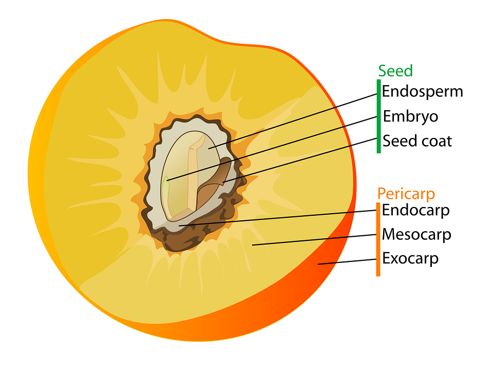Diagram Fruit Labelled Free Vector Graphic On Pixabay