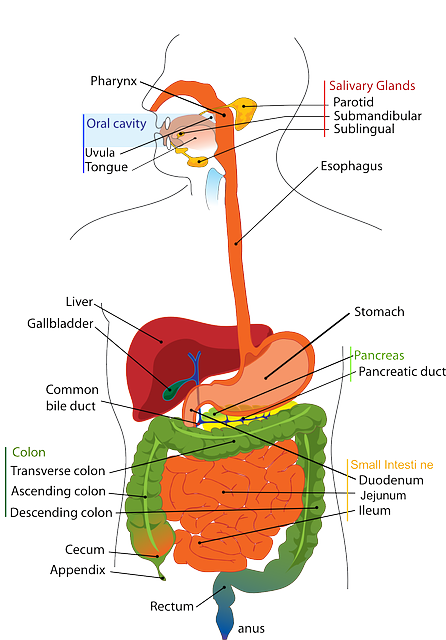 Digestive System Human · Free vector graphic on Pixabay | 446 x 640 png 195kB