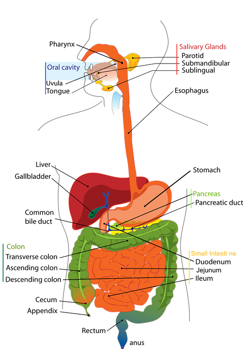 Diagram of the digestive system labelled electrical work wiring digestive system human free vector graphic on pixabay rh pixabay com labelled diagram of the digestive system gcse diagram of the human digestive system ccuart Images