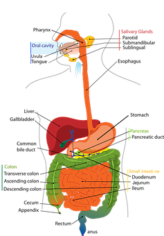 A drawing showing the stomach system.