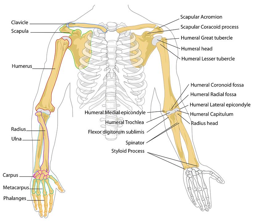 Diagrama Humana Huesos · Gráficos vectoriales gratis en Pixabay