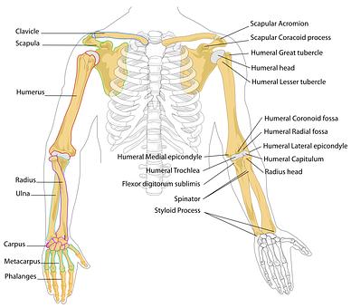 10 Free Ribcage Skeleton Images Pixabay