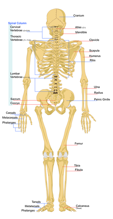 Skeleton Human Anatomy Free Vector Graphic On Pixabay