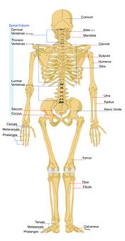 Szkielet, Ludzi, Anatomia, Kręgosłup