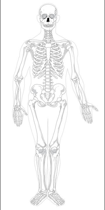 Skelett Menschliche Anatomie X · Kostenlose Vektorgrafik auf Pixabay
