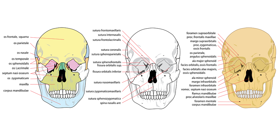 Skull, Human, Front, Complete, Anatomy