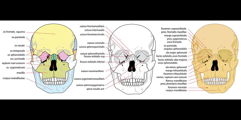 Cráneo Humana Frente · Gráficos vectoriales gratis en Pixabay