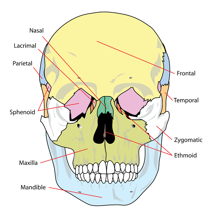 Skull Diagram Labelled Free Vector Graphic On Pixabay