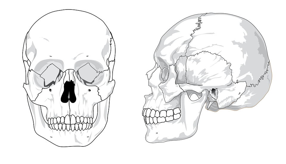 free vector graphic: skull, diagram, bones, anatomy - free image, Wiring diagram
