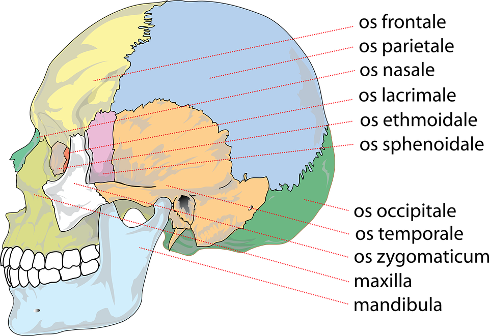 Schädel Menschliche Anatomie · Kostenlose Vektorgrafik auf Pixabay