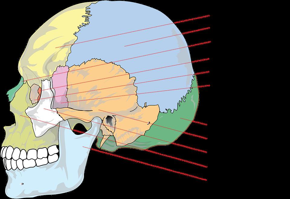 Skull Human Anatomy · Free vector graphic on Pixabay