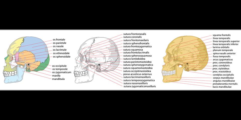 Cráneo Humana Lado · Gráficos vectoriales gratis en Pixabay