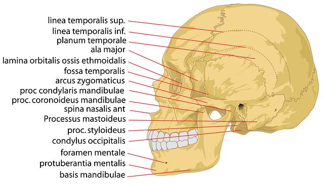 Skull on Human Eye Model Diagram