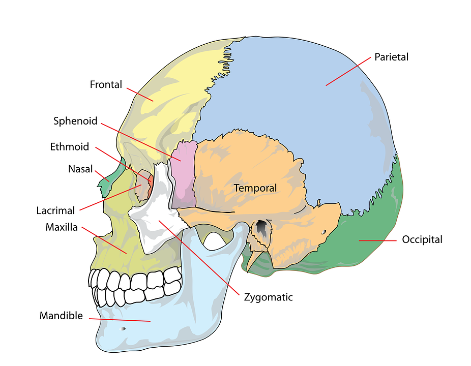 free vector graphic skull human head cranium free image on  : diagram of skull - findchart.co