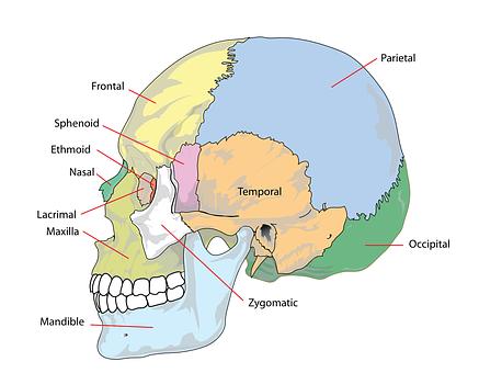 Schädel, Menschliche, Kopf, Diagramm