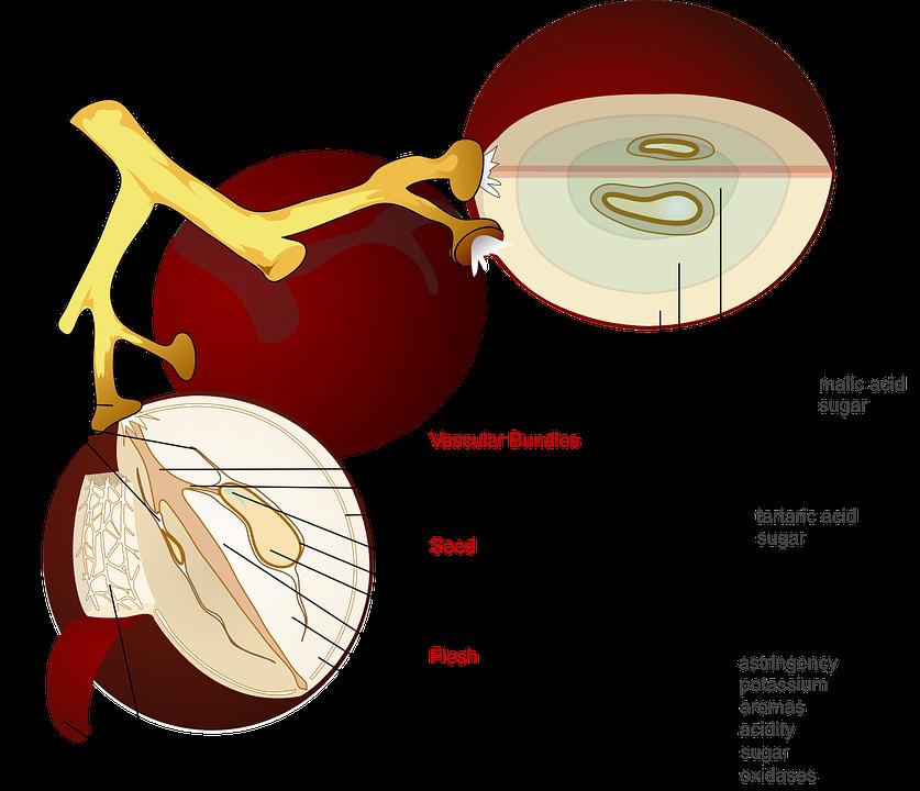 Anggur buah diagram gambar vektor gratis di pixabay anggur buah diagram penampang label ccuart Images
