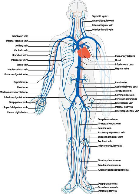 Torso Muscle Diagram
