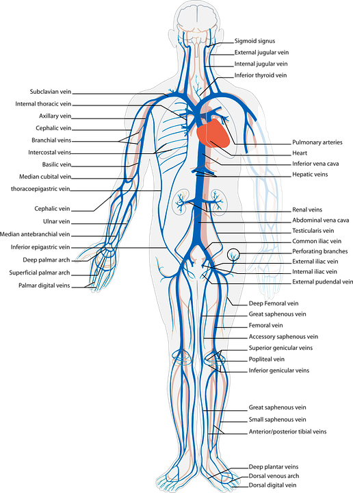 Human Body Circulatory Free Vector Graphic On Pixabay