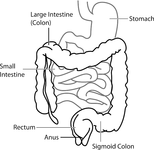 Diagram Digestive System Free Vector Graphic On Pixabay