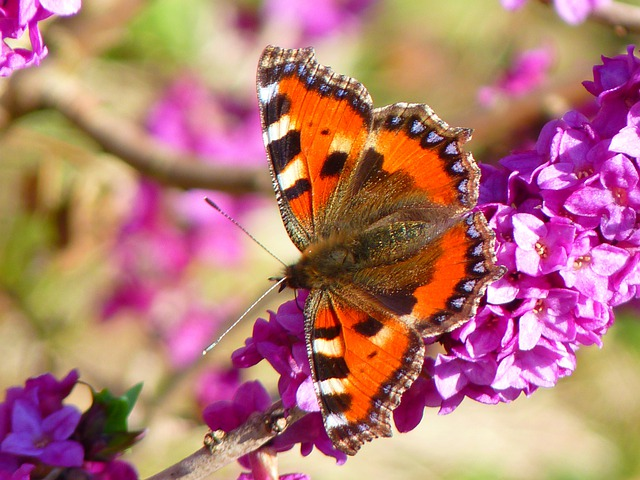 Free photo butterfly little fox free image on pixabay for Sfondi con farfalle