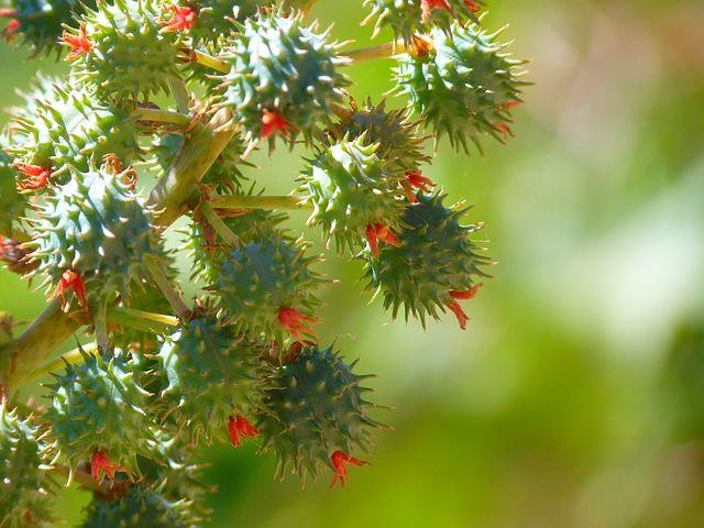 Castor Oil Plant, Castor Fruit, Blossom