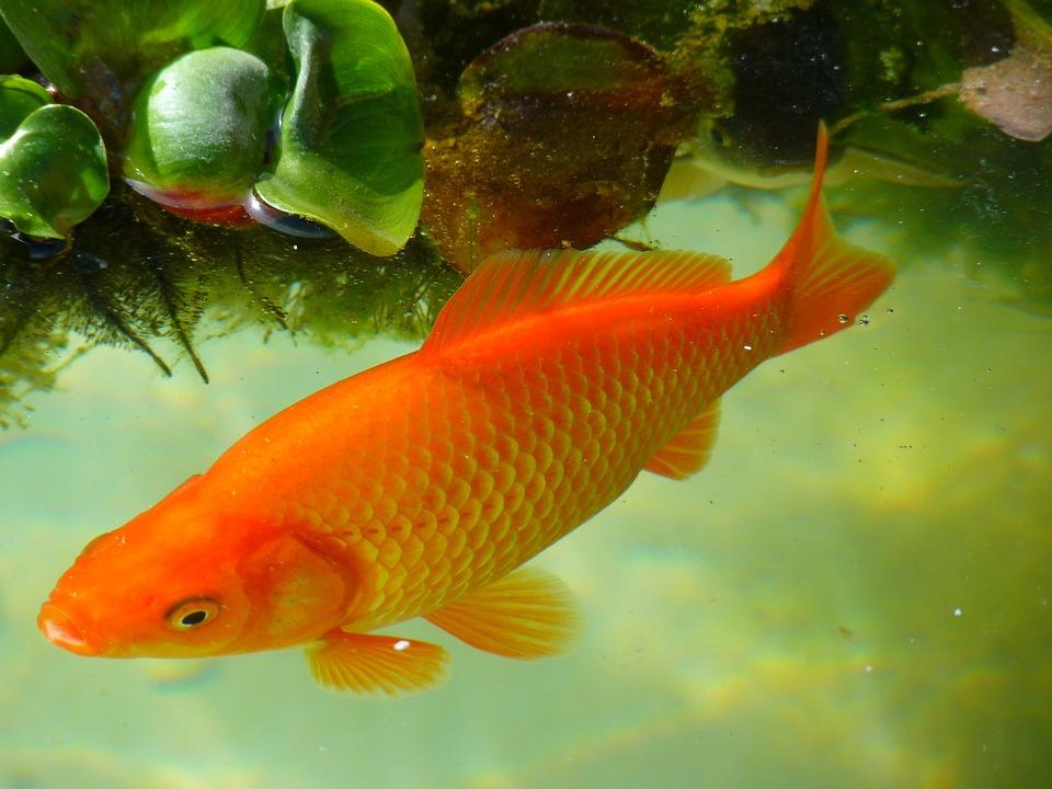 Ikan Koi Vs Ikan Mas (Goldfish)