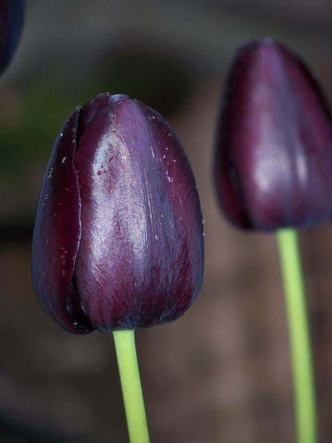 black tulip flower  u00b7 free photo on pixabay