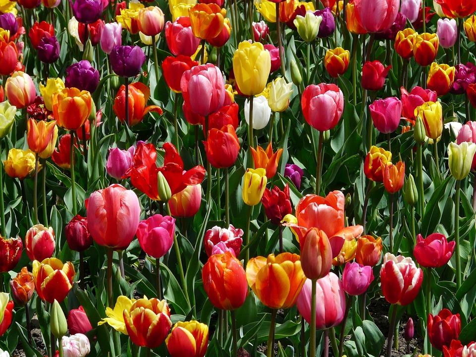 tulpen tulpenbluete bloemen tulp - gratis foto op pixabay