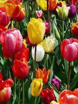 Tulip, Gele, Gele Tumor, Tulpen