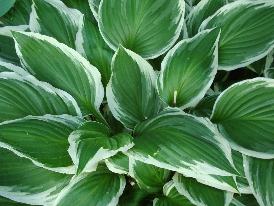 Hosta Shade Plant Free Photo On Pixabay