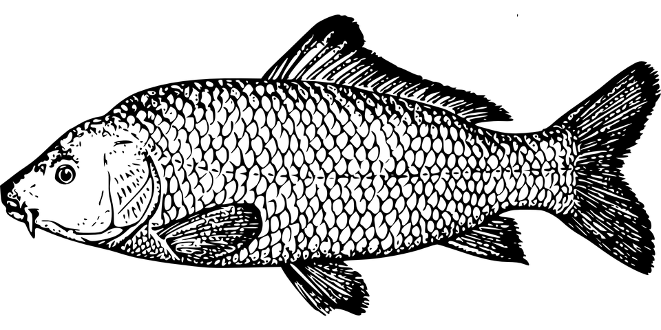 Kostenlose vektorgrafik fisch karpfen arten flossen for Trota da colorare
