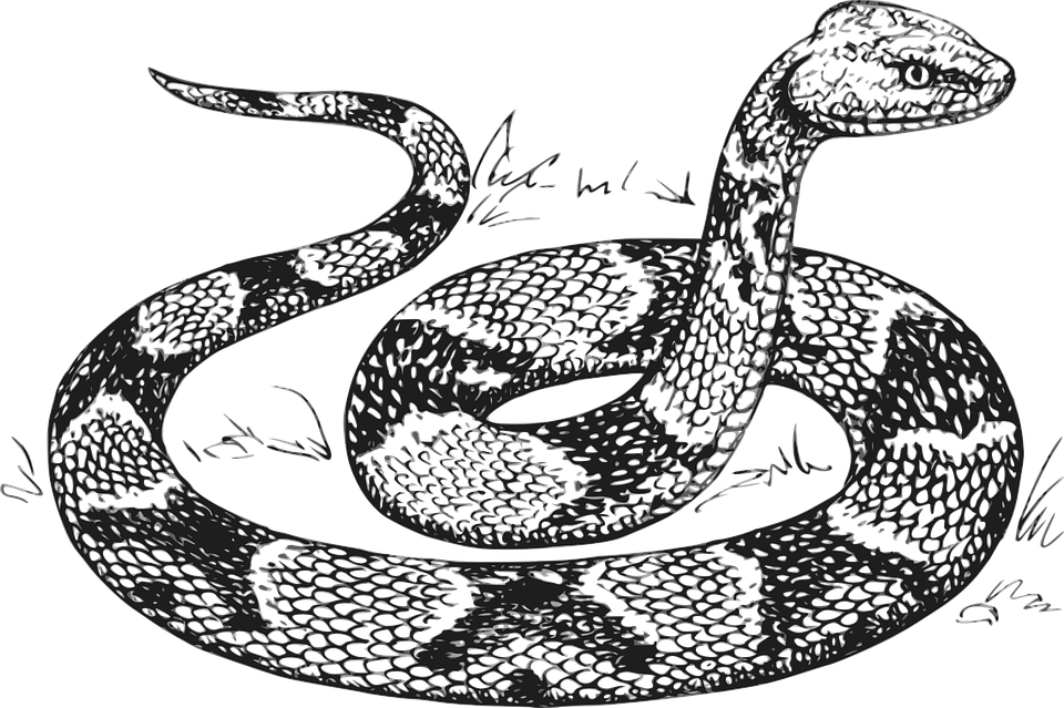 Line Drawing Using Python : Snake head raised · free vector graphic on pixabay