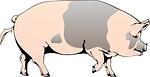 pig, barn, farm