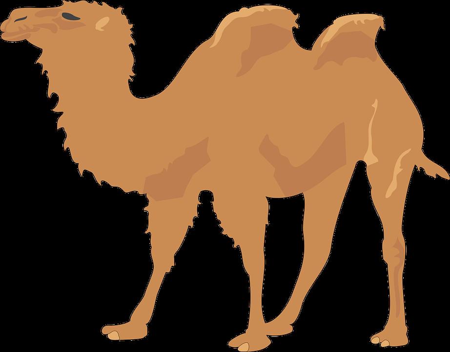 Camel Two Humps Desert Animal Long Neck Sand