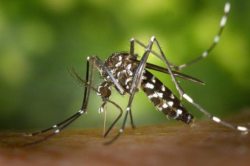 Mosquito, Insectes, Piqure De Moustique